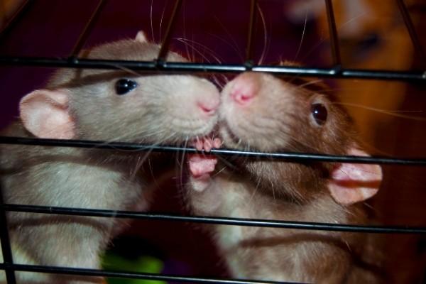Ratten und Ungeziefer