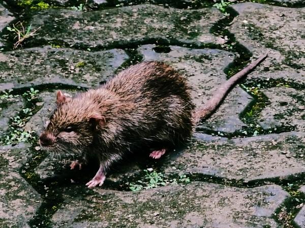 Nasse Ratte